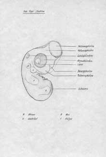Embryo Gallina 4