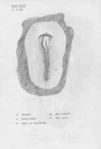 Embryo Gallina 20h