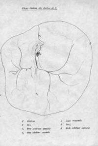 Blood Vessels Embryo