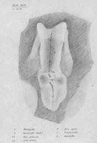 Embryo Gallina 22h b